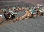paseo camello lanzarote