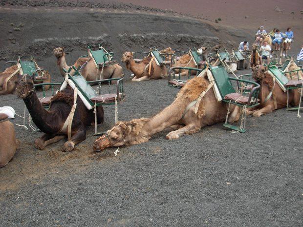 camellos lanzarote timanfaya